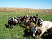 GOATS/005Does10-9-16.jpg